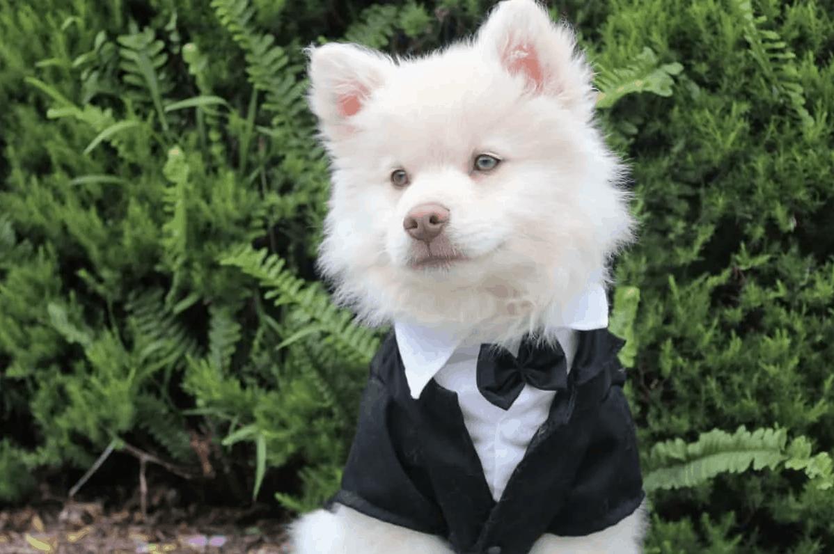puppy in tux