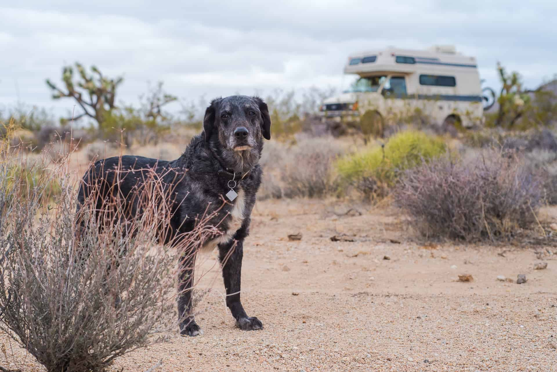 A dog standing in the desert next to a camper
