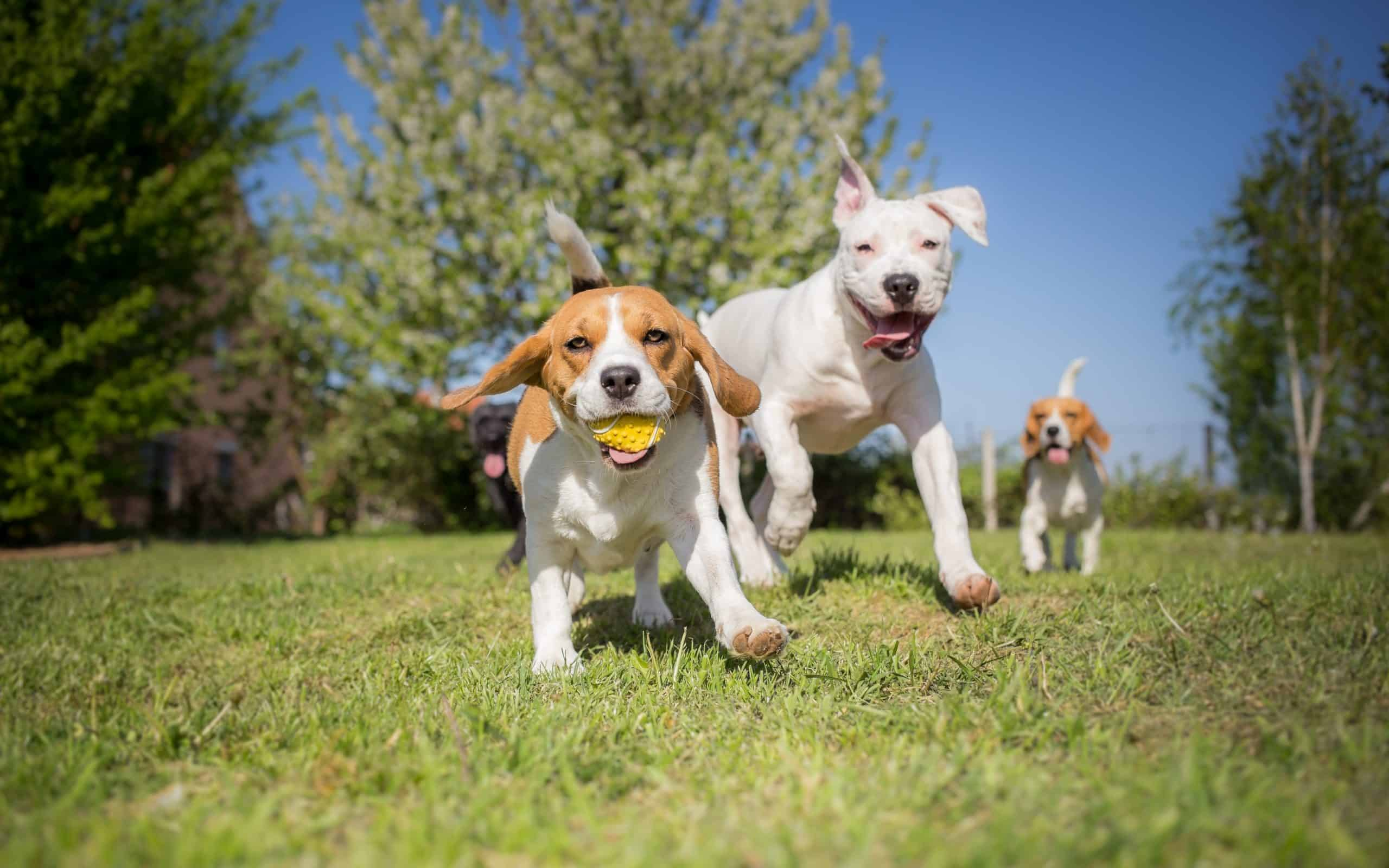 Group of dogs running over the lawn