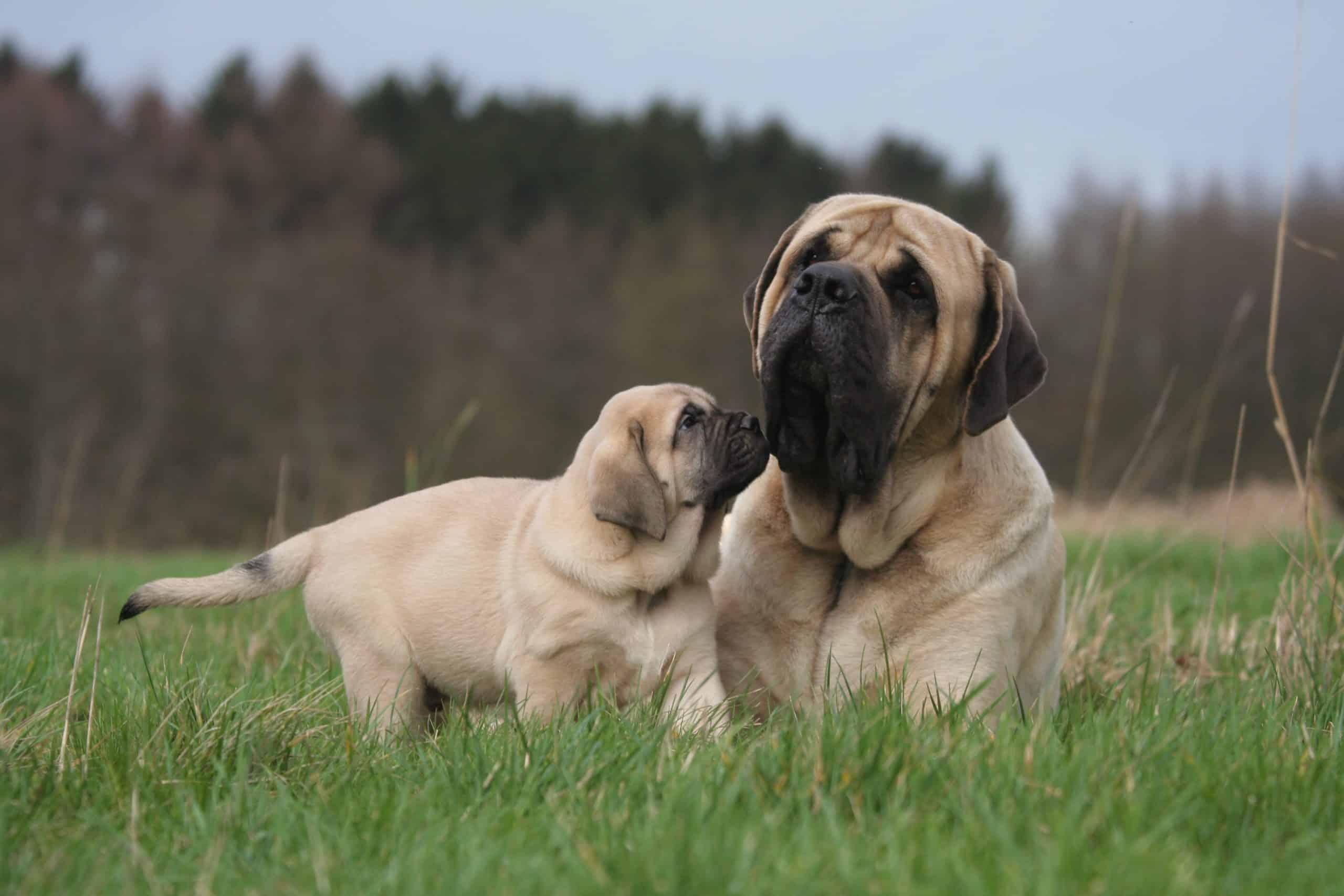mastiff puppy with larger dog