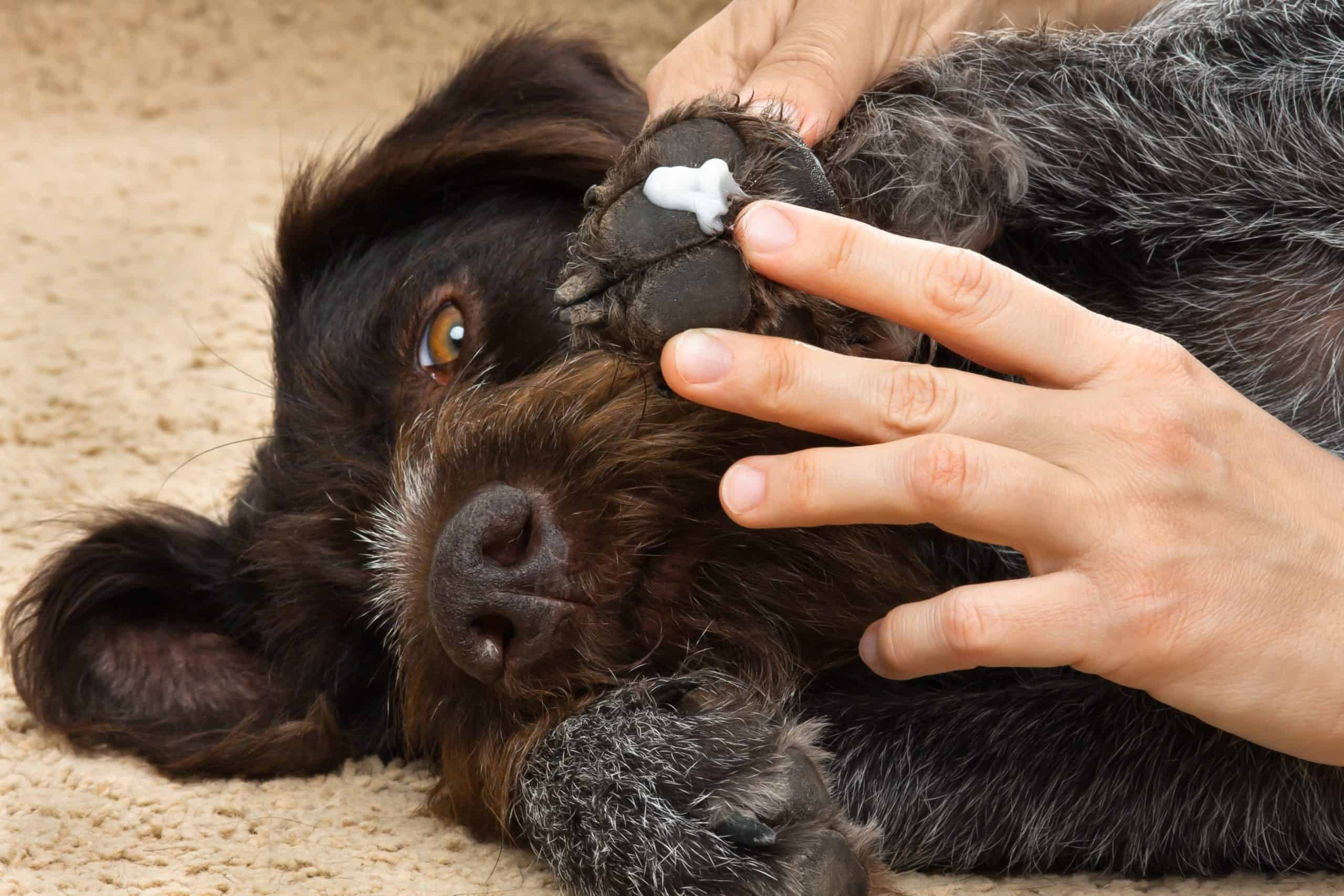 hands of owner smearing ointment to the paw of dog, closeup