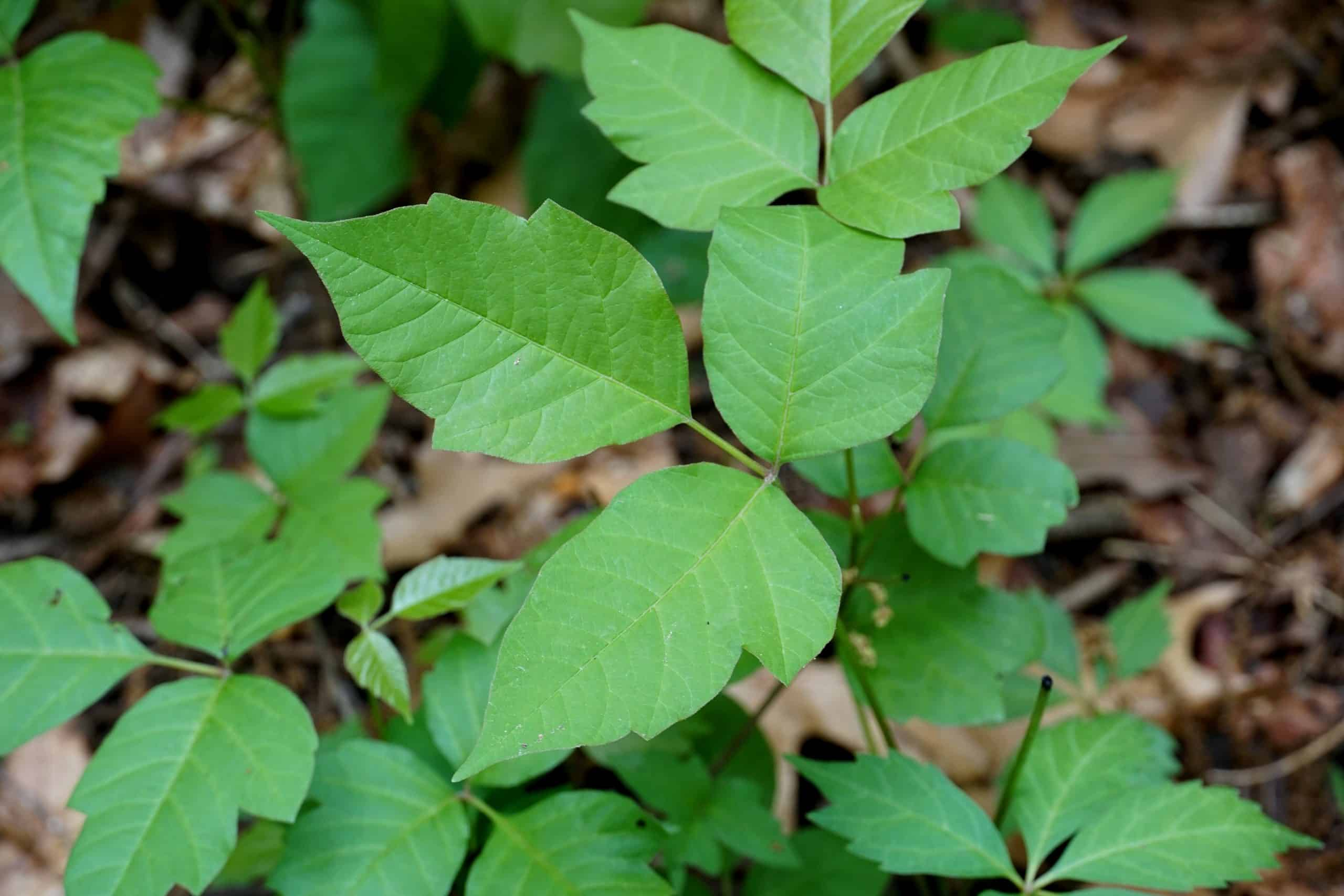 closeup of poison ivy