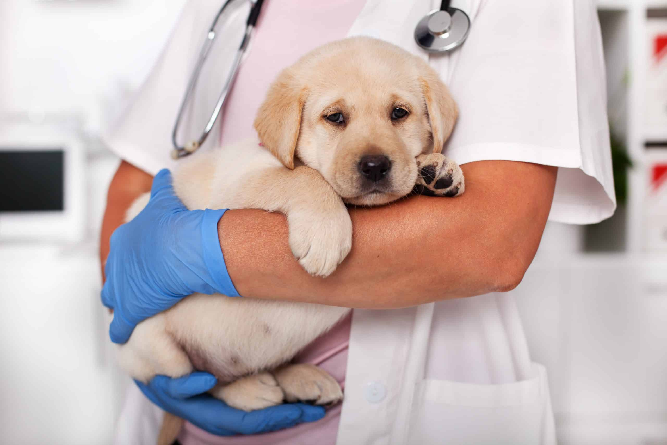 Cute labrador puppy dog sitting confortably in the arms of veterinary healthcare professional