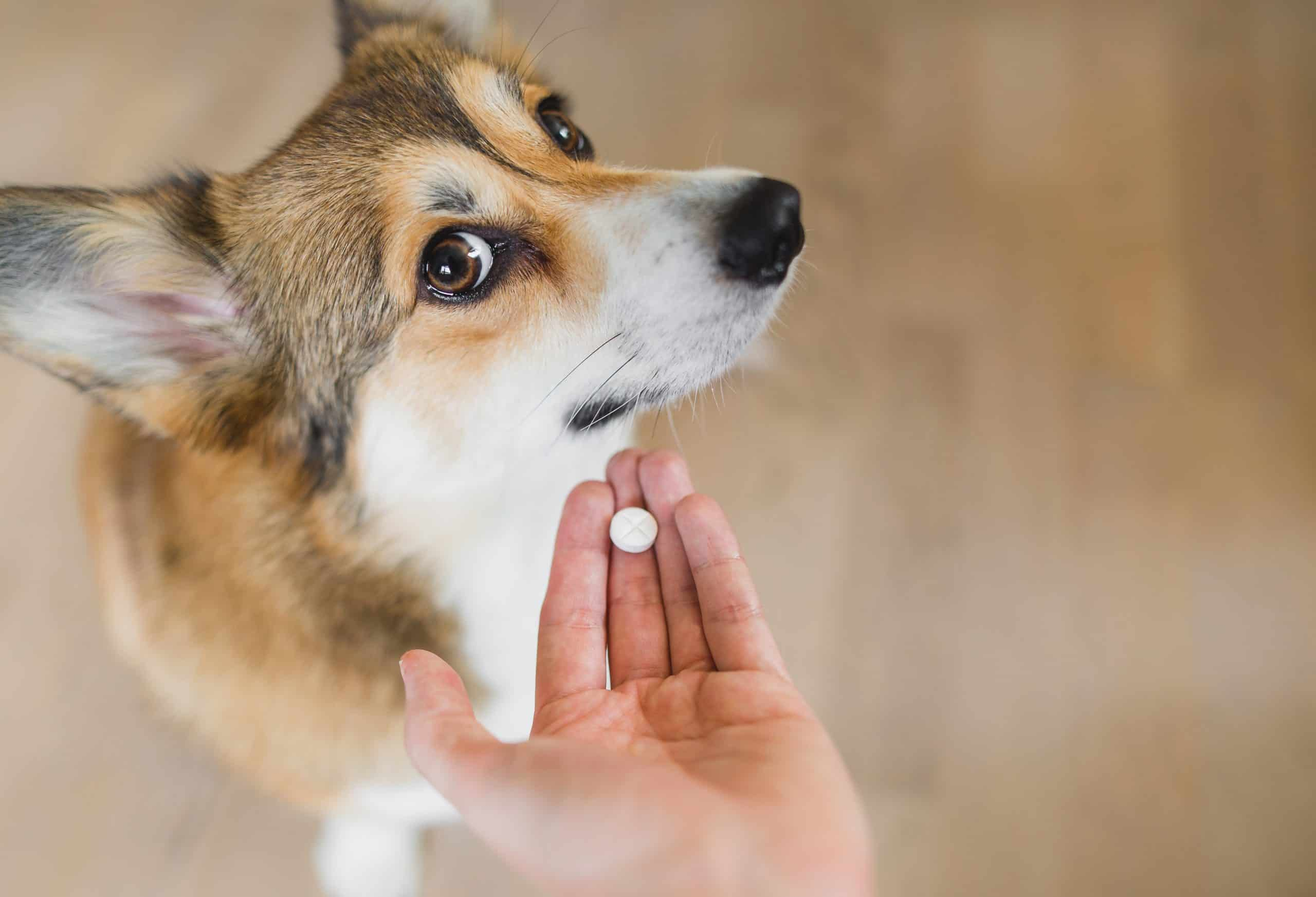 Welsh corgi pembroke sick dog receiving a medifaction in a pill, lookng to the camera. hand with a pill and a dog. owner giving a pill to a dog.