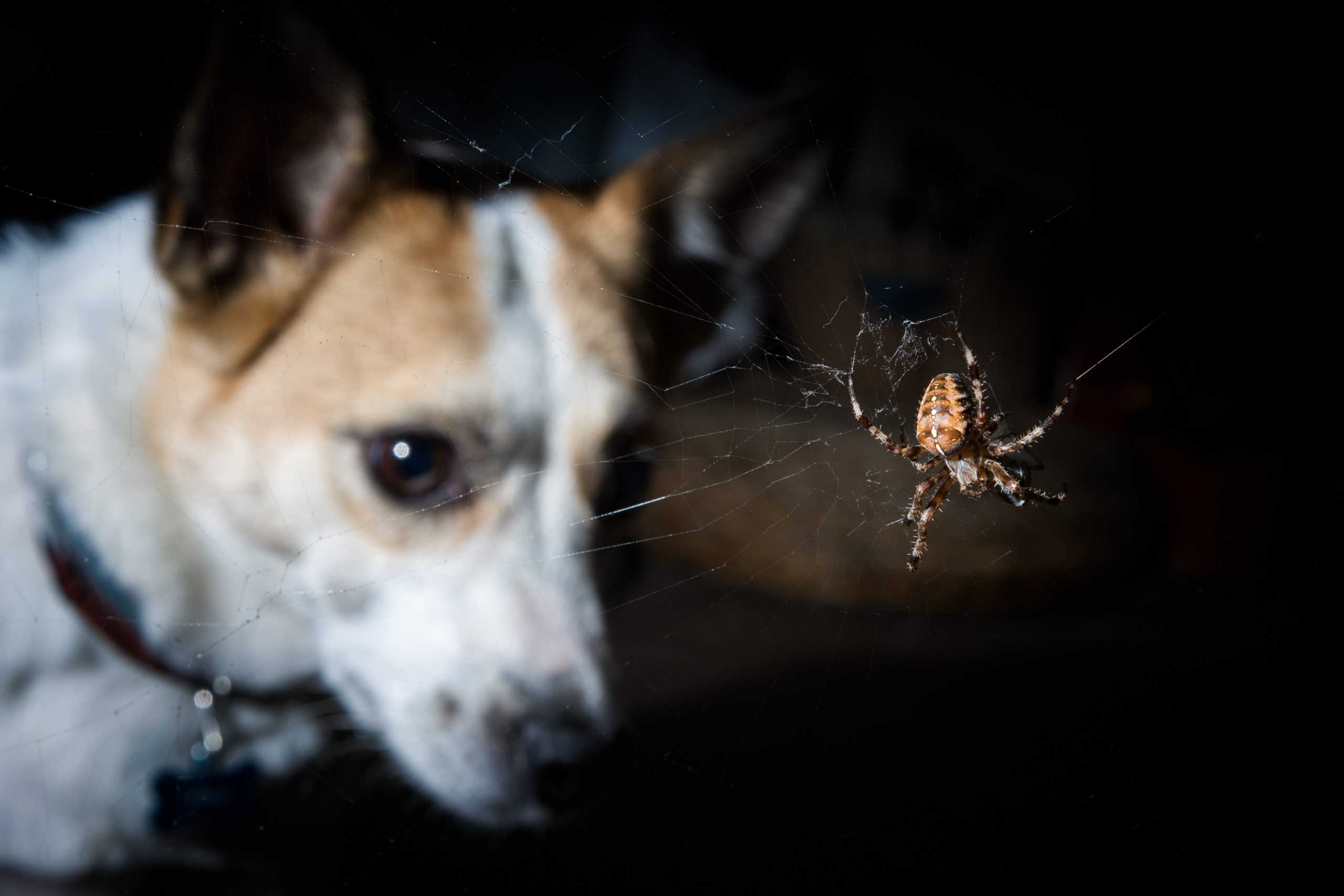 dog looking at a garden spider