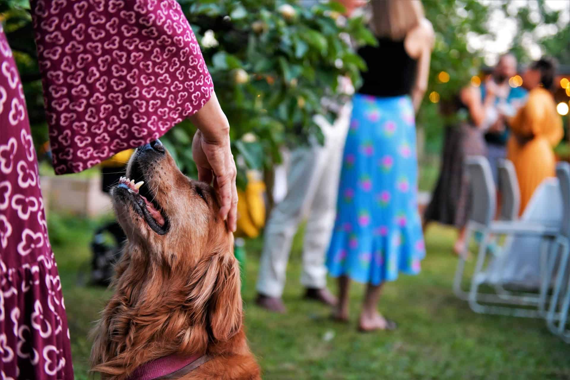 Emotional support dog golden retriever