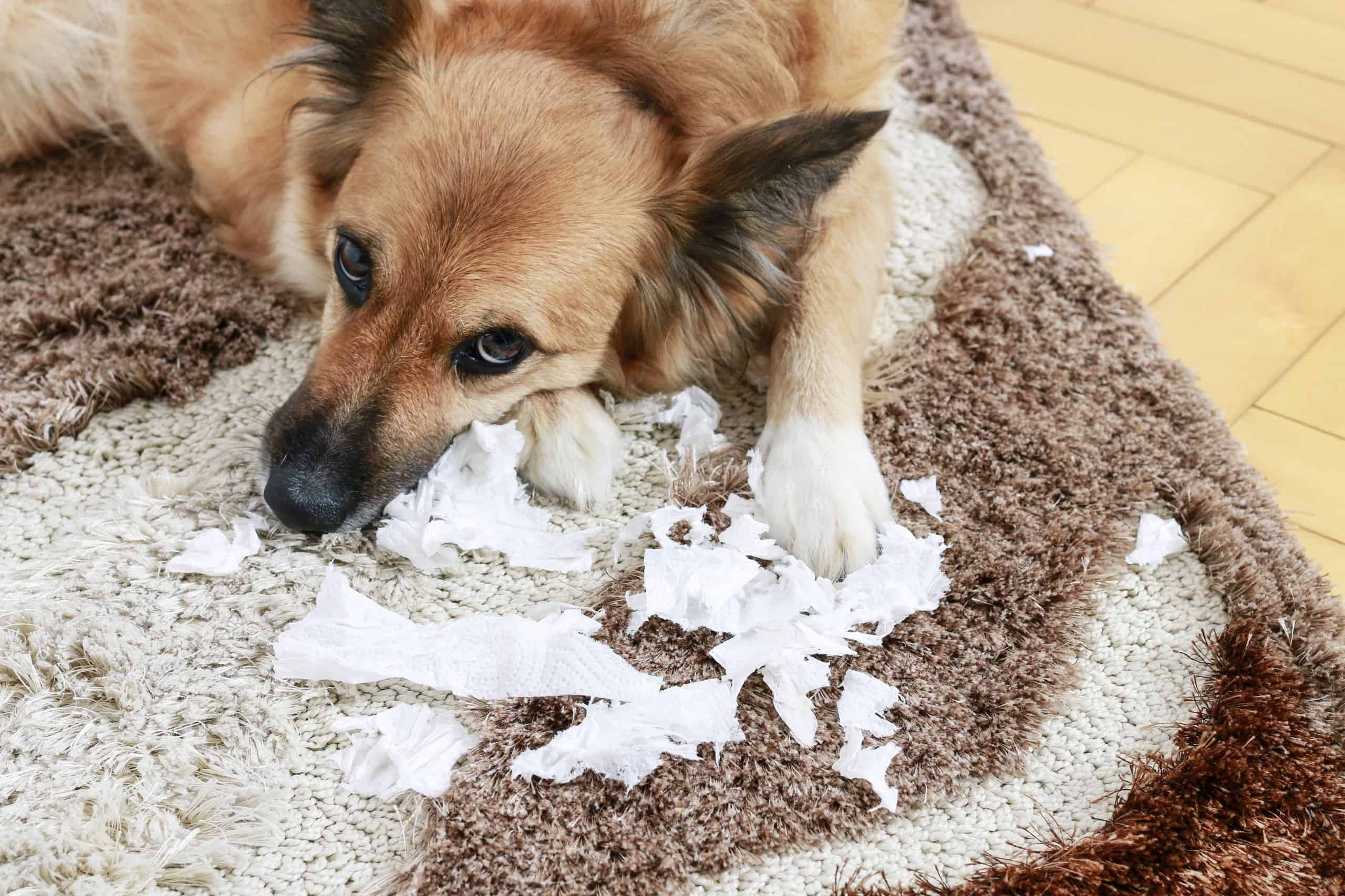 Dog lying on the carpet with torn papers.