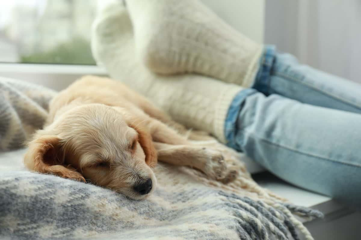 Cute English Cocker Spaniel puppy sleeping on blanket near owner indoors