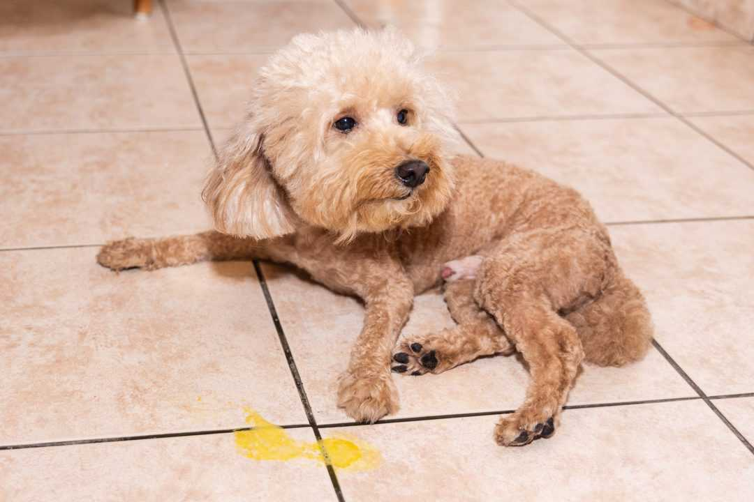 Toy poodle dog vomits yellow substance suspected to be bile, onto floor