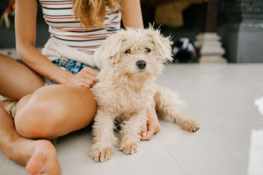 Small dog with a flea problem sitting with its owner.