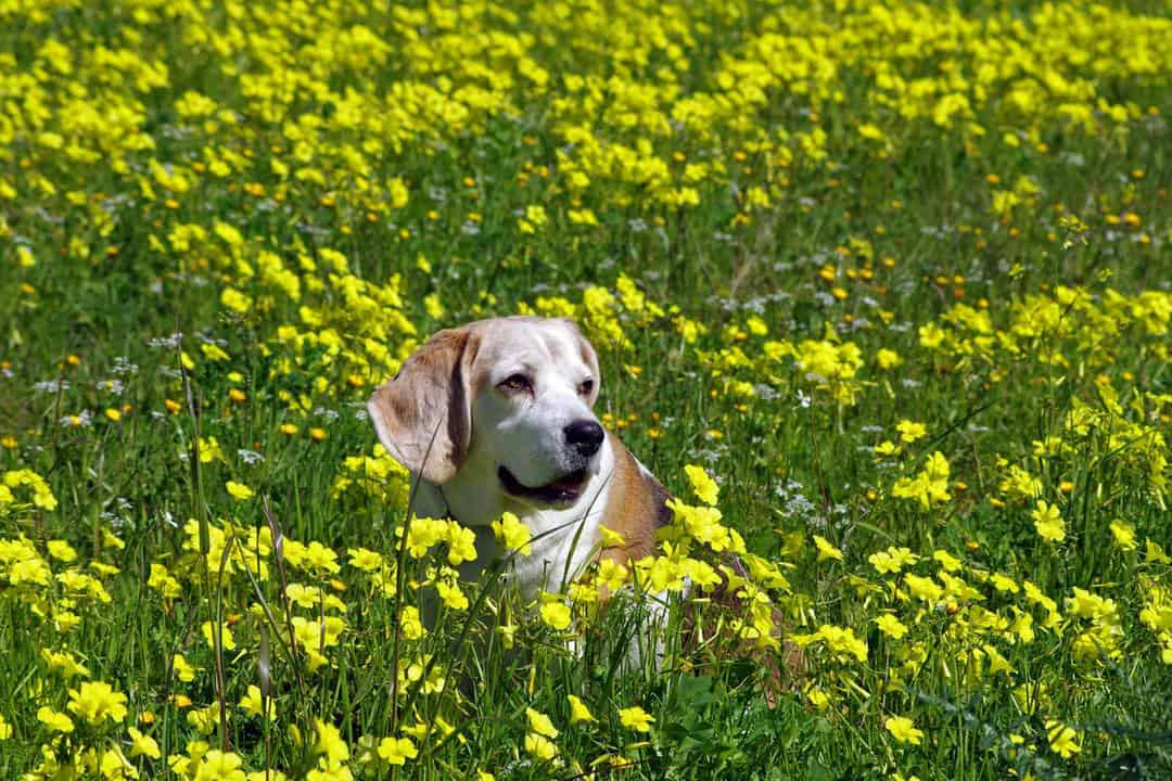 White and brown dog sitting in a field of flowers