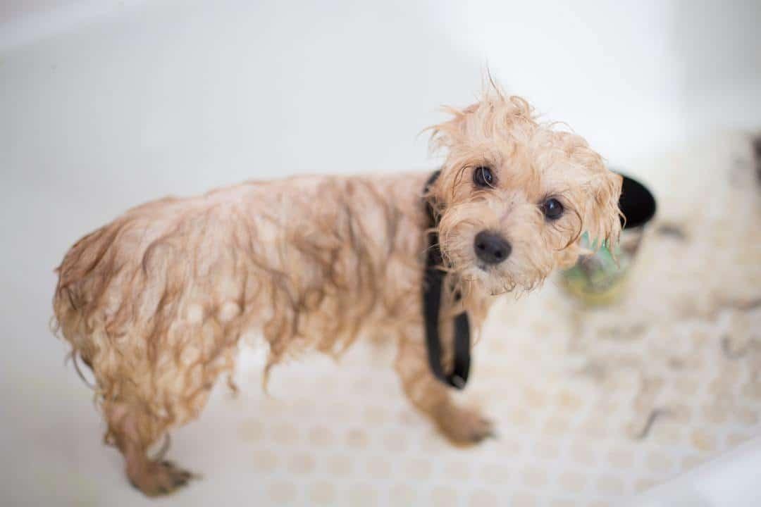 Small dog getting a flea bath