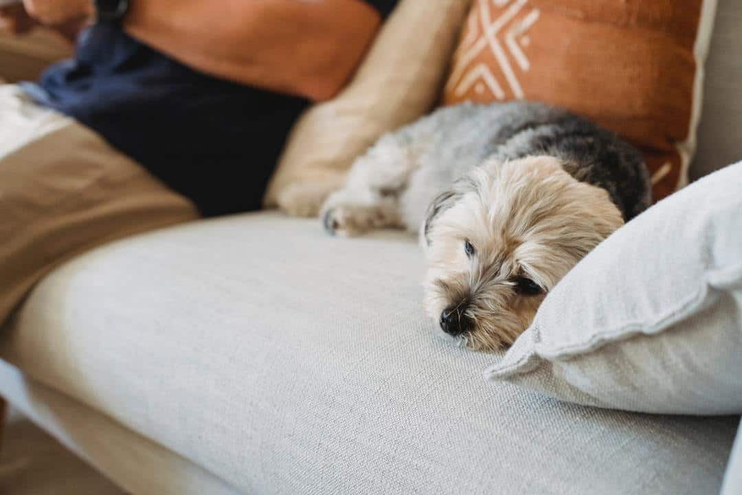 Small dog that has symptoms of liver disease sitting on a couch with its owner